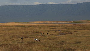 Wide angle shot of a group of Crowned cranes (Balearica regulorum) feeding, Ngorongoro Crater, Tanzania.  -  Fred  Olivier