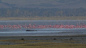 Mixed flock of Greater flamingos (Phoenicopterus roseus) and Lesser flamingos (Phoenicopterus minor) on a soda lake, flapping their wings in agitation, Ngorongoro Crater, Tanzania.  -  Fred  Olivier