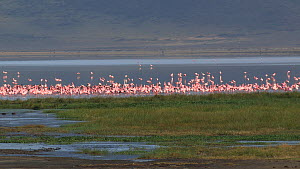 Panning shot of a mixed flock of Greater flamingos (Phoenicopterus roseus) and Lesser flamingos (Phoenicopterus minor) on a soda lake, flapping their wings in agitation, Ngorongoro Crater, Tanzania.  -  Fred  Olivier