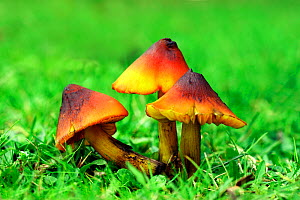 Blackening waxcap fungus (Hygrocybe sp.) New Forest, Hampshire, UK. - Russell Cooper