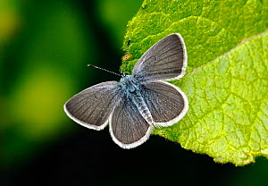 Male Small blue butterfly (Cupido minimus) resting on a leaf, Surrey, England, UK, June.  -  Russell Cooper