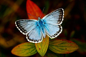 Male Chalkhill blue butterfly (Lysandra coridon) basking with wings open, North Downs, Surrey, England, UK - Russell Cooper