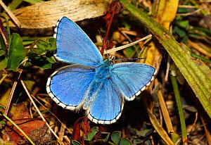 Male Adonis blue butterfly (Lysandra bellargus) basking wings open. North Downs, Surrey, England, UK, August. - Russell Cooper