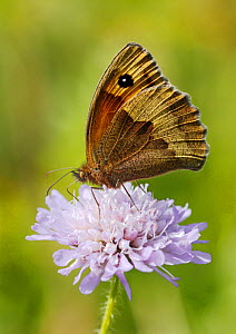 Meadow Brown Butterfly (Maniola jurtina) feeding from Scabious flower (Scabiosa) North Downs, Surrey, England, UK, August. - Russell Cooper