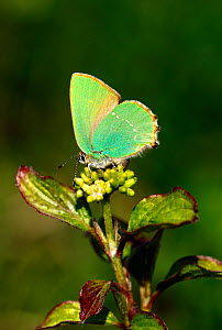 Female Green hairstreak butterfly (Callophrys rubi) laying eggs on Dogwood (Cornus), North Downs, Surrey, England, UK, April.  -  Russell Cooper