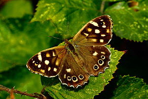 Speckled wood butterfly (Pararge aegeria) resting on bramble leaf, South-west London, UK  -  Russell Cooper