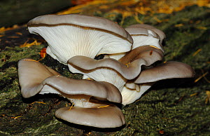 Oyster Mushrooms (Pleurotus ostreatus) growing from dead tree, North Downs, Surrey, England, UK. November.  -  Russell Cooper