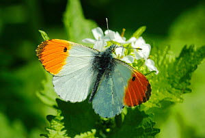 Male Orange tip (Anthocharis cardamines) butterfly feeding from garlic mustard flowers, London, April. - Russell Cooper