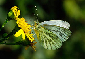 Green-veined white butterfly (Pieris napi) feeding from flowers, London, UK, April. - Russell Cooper