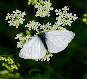 Male Green-veined white bButterfly (Pieris napi) feeding from Cow Parsley, London, UK, April. - Russell Cooper