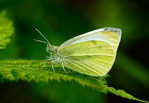 Small white butterfly (Pieris rapae) resting on a leaf, London, UK, April. - Russell Cooper