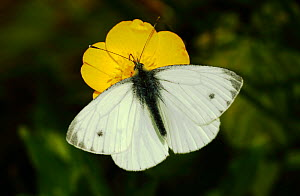 Green-veined white (Pieris napi) butterfly feeding from buttercup flower, London, May. - Russell Cooper