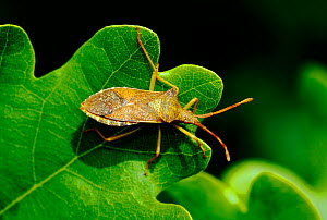 Shield bug (Coreus marginatus) resting on Oak leaf, London, UK, May.  -  Russell Cooper