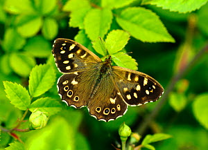 Speckled wood butterfly (Pararge aegeria) female, resting on Dog-rose, London, UK, May.  -  Russell Cooper