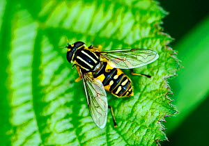 Hoverfly (Helophilus sp.) resting on leaf, London, UK, May. - Russell Cooper
