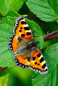 Small tortoiseshell butterfly (Aglais urticae) resting on Bramble leaf, London, UK, July. - Russell Cooper