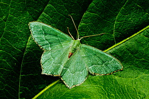 Common Emerald moth (Hemithea aestivaria) resting on a leaf, London, June.  -  Russell Cooper