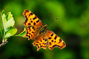 Comma Butterfly (Polygonia c-album) London, UK, June.  -  Russell Cooper
