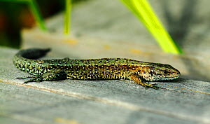 Common Lizard (Lacerta vivipara) basking on boardwalk, Thursley Common National Nature Reserve, Surrey, UK, July.  -  Russell Cooper
