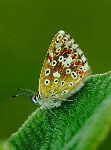 Female Chalkhill Blue butterfly (Lysandra coridon) resting on a leaf. North Downs, London, UK, July. - Russell Cooper