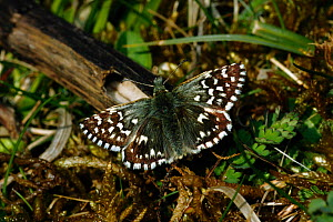 Grizzled Skipper butterfly (Pyrgus malvae) basking wings open, North Downs, Surrey, UK. August.  -  Russell Cooper