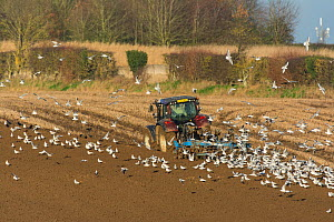Valtra T 163 tractor ploughing in wheat stubble, Norfolk, UK. January 2015.  -  Gary  K. Smith