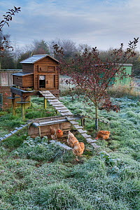 Free-range chickens and raised chicken coop in frosty weather, Norfolk, UK. November. - Gary  K. Smith