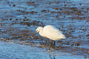 Little egret, (Egretta garzetta), catching Three-spined stickleback (Gasterosteus aculeatus) in tidal estuary, Norfolk, UK. December. - Gary  K. Smith