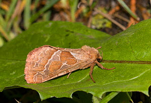 Common swift moth (Hepialus lupulinus) on leaf, Wiltshire, UK, August.  -  David Kjaer
