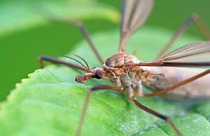 Crane-fly (Tipula oleracea) on leaf, Wiltshire, UK, September. - David Kjaer