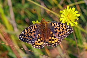 Dark green fritillary butterfly (Argynnis aglaja) female, Wiltshire, UK, July.  -  David Kjaer