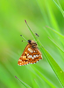 Duke of Burgundy butterfly (Hamearis lucina), Wiltshire, UK, June. - David Kjaer