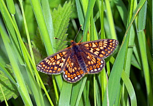 Marsh fritillary butterfly (Euphydryas aurinia), Wiltshire, UK, June. - David Kjaer