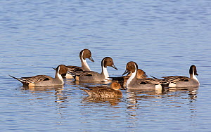Pintail (Anas acuta) group of males and females on water, Gloucestershire, UK, November.  -  David Kjaer