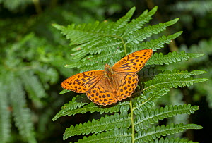 Silver-washed fritillary butterfly (Argynnis paphia) England, UK, July. - David Kjaer
