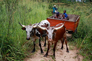 Lozi people in cart pulled by cattle,  Sioma Nqwezi Park, Zambia. November 2010.  -  Steve O. Taylor (GHF)
