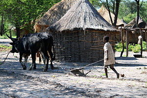 Lozi village, with huts and men leading cattle for ploughing, Sioma Nqwezi Park, Zambia. November 2010.  -  Steve O. Taylor (GHF)