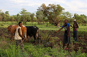 Lozi men ploughing with cattle, Lozi People, Sioma Nqwezi Park, Zambia. November 2010.  -  Steve O. Taylor (GHF)