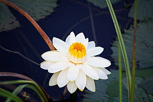 Water lily (Nymphaea lotus) Bwabwata Conservancy, Namibia.  -  Steve O. Taylor (GHF)