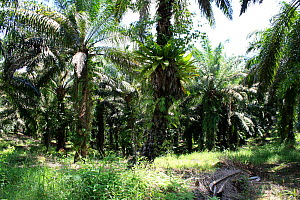 Palm oil (Elaeis guineensis) plantation, central Kalimantan, Indonesian Borneo. June 2010.  -  Steve O. Taylor (GHF)