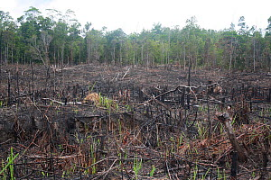 Land deforested for Rubber tapping plantations, Central Kalimantan,  Indonesia Borneo. June 2010.  -  Steve O. Taylor (GHF)