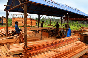 People building longhouses on rubber tapping plantation, in deforested area. Central Kalimantan,  Indonesian Borneo. June 2010.  -  Steve O. Taylor (GHF)