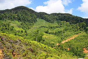 Area deforested for rubber tapping, Central Kalimantan,  Indonesian Borneo. June 2010.  -  Steve O. Taylor (GHF)