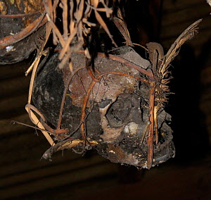 Human skulls of enemies, possibly Japanese occupation troop,s kept in ceilings of Dayak headhunters' longhouses,  Central Kalimantan,  Indonesian Borneo. June 2010.  -  Steve O. Taylor (GHF)
