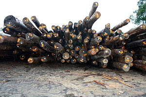 Deforested logs for export, Sabah, Malaysian Borneo. July 2010. - Steve O. Taylor (GHF)
