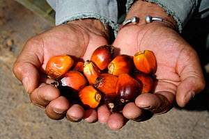 Palm oil kernel in hands, West Kalimantan, Indonesian Borneo. August 2010.  -  Steve O. Taylor (GHF)