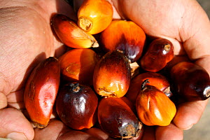 Palm oil kernels held in hand, West Kalimantan, Indonesian Borneo. August 2010.  -  Steve O. Taylor (GHF)
