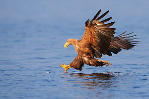 White tailed sea eagle (Haliaeetus albicilla) fishing, taken from fishing boat on sea eagle safari tour, Stettin Lagoon, Oder delta, Poland, August. Sequence 1/4  -  Wild  Wonders of Europe / Widstrand