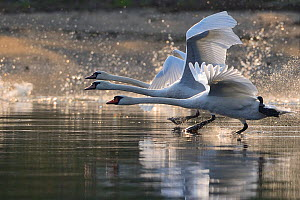 RF- Mute swans (Cygnus olor) taking off, Stettin Lagoon, Oder delta, Poland, August. (This image may be licensed either as rights managed or royalty free.)  -  Wild  Wonders of Europe / Widstrand