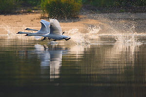 Mute swans (Cygnus olor) taking off, Stettin Lagoon, Oder delta, Poland, August.  -  Wild  Wonders of Europe / Widstrand